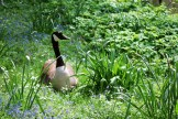 goose laying in Romberg Park